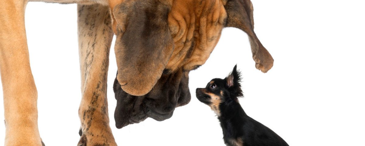 Chihuahua guckt auf zu großem Hund